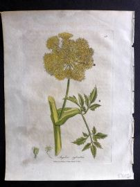 Woodville 1810 Hand Col Botanical Print. Angelica Sylvestris. Wild Angelica 36